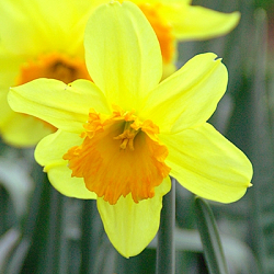 X 100 NARCISSUS FORTISSIMO 12/14