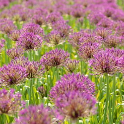 X 100 ALLIUM PURPLE RAIN 12/14