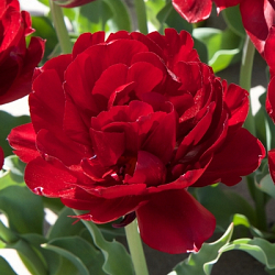 X 100 TULIPA UNCLE TOM 11/12