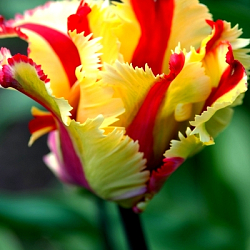 X 100 TULIPA FLAMING PARROT 11/12