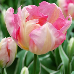 X 100 TULIPA SILVER PARROT 11/12