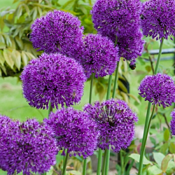 X 100 ALLIUM PURPLE SENSATION 10/12