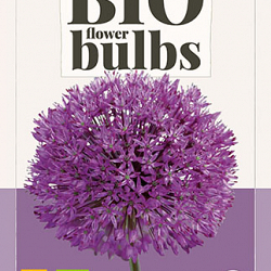 X   5 ALLIUM PURPLE SENSATION - BIO 10/12