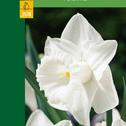 X  3 NARCISSUS LARGE CUP WHITE 10/12