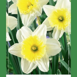 X   40 NARCISSUS ICE FOLLIES 10/12