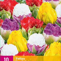 X 10 TULIPA CANDY LOVE 11/12