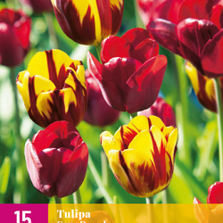 X 15 TULIPA SUN BREAK 11/12