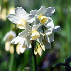 X 100 NARCISSUS SILVER CHIMES 15/17