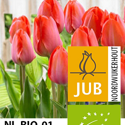 X 100 BIO TULIPA ORANGE VAN EIJK 11/12