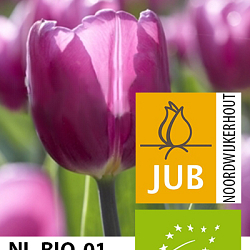 X 100 BIO TULIPA PURPLE FLAG 10/11