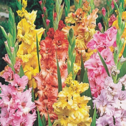 X 100 GLADIOLUS RUFFLED MIX 12/14