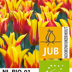 X 100 BIO TULIPA FIRE WINGS 11/12