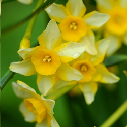 X 250 NARCISSUS NEW BABY 8/10