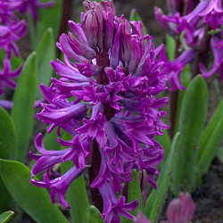 X 100 HYACINTHUS PURPLE SENSATION 15/16