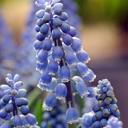 X 100 MUSCARI AUCHERI BLUE MAGIC 8/9