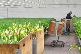 Das züchten von Schnittulpen