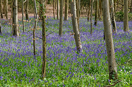 English Bluebells - Hyacinthoides non-scripta