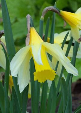 Pseudo narcis - Narcissus lobularis