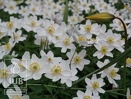 Anemone nemorosa & Tulipa sylvestris