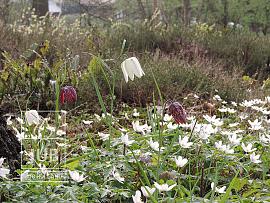 Fritillaria meleagris & Anemone nemorosa