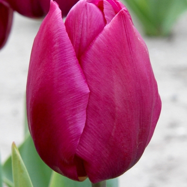 X 250 TULIPA PURPLE PRINCE 11/12