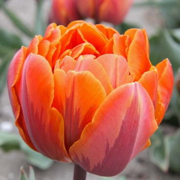 X 250 TULIPA ORANGE PRINCESS 12/+