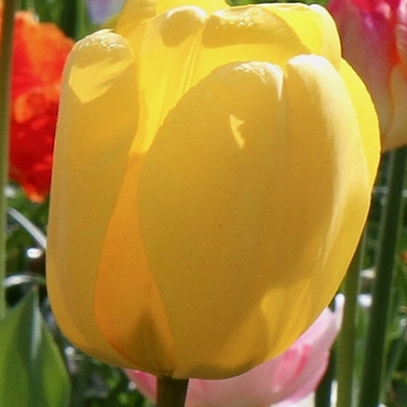 X 100 TULIPA GOLDEN OXFORD 12/+