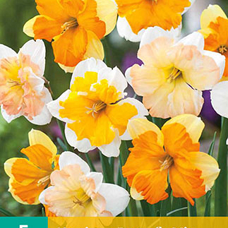 X   5 NARCISSUS BUTTERFLY MIX 12/14