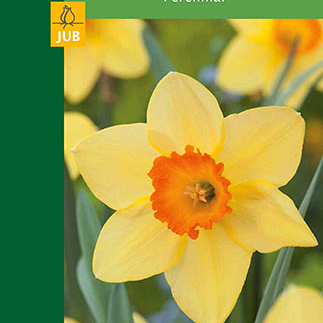 X  3 NARCISSUS LARGE CUP YELLOW/RED 10/12