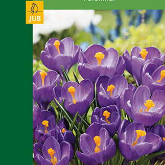 X  8 CROCUSES LARGE FLOWERING BLUE 7/8