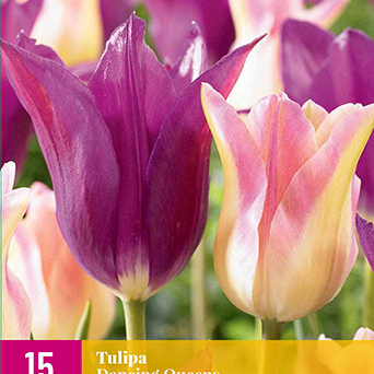 X 15 TULIPA DANCING QUEENS 11/12
