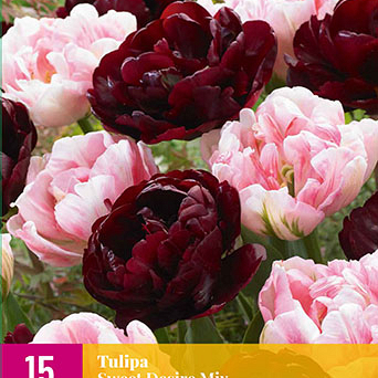 X 15 TULIPA SWEET DESIRE MIX 11/12