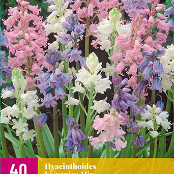 X 40 HYACINTHOIDES HISPANICA MIX 7/8