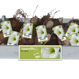 X 15 JUMBO AMARYLLIS WIT INCL. LABEL 40/42