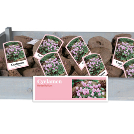 X 30 CYCLAMEN HEDERIFOLIUM INCL. LABEL 35/+