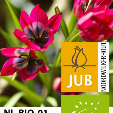 X 100 BIO TULIPA LITTLE BEAUTY 5/+