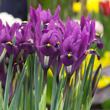 X 100 IRIS RETICULATA PURPLE HILL 6/+