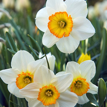 X 250 NARCISSUS FLOWER RECORD 12/14