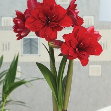 X 1 AMARYLLIS DUBBEL ROOD INCL. LABEL 34/36