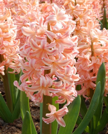 X   50 HYACINTHUS GIPSY QUEEN 17/18