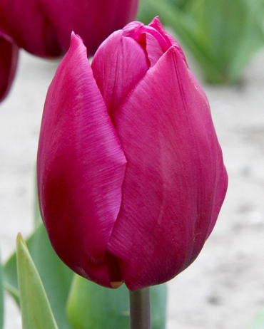 X 100 TULIPA PURPLE PRINCE 12/+