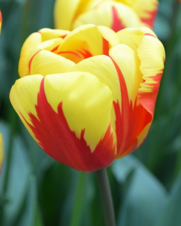X 100 TULIPA HOLLAND QUEEN 11/12