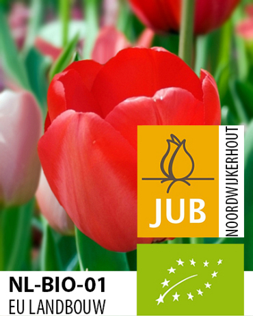X 100 BIO TULIPA RED IMPRESSION 11/12