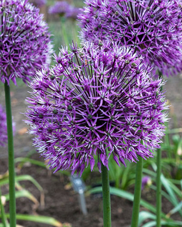 X   25 ALLIUM EARLY EMPEROR  14/+