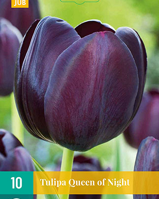 X 10 TULIPA QUEEN OF NIGHT 11/12