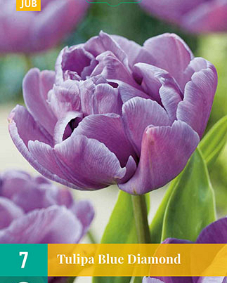 X   7 TULIPA BLUE DIAMOND 11/12