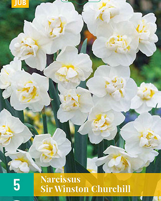 X   5 NARCISSUS SIR WINSTON CHURCHILL 12/14