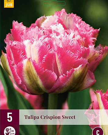X   5 TULIPA CRISPION SWEET 12/+