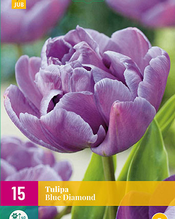 X 15 TULIPA BLUE DIAMOND 11/12