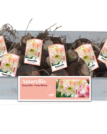X 25 AMARYLLIS ROZE/WIT INCL. LABEL 34/36